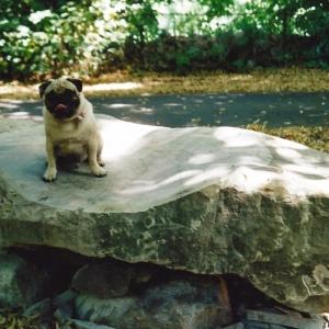 Echter Mops sitzt auf Steinchaiselongue aus Stein in freiem Gelände